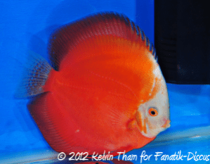 Discus open solid 3rd Malaysian discus show 2012