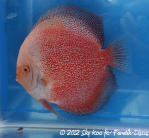 Discus open pattern 2nd Malaysian discus show 2012