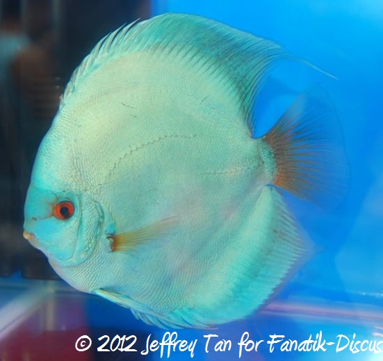 Discus blue diamond 1st Malaysian discus show 2012