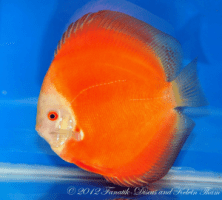 Discus solid red 1st Malaysia discus show 2012