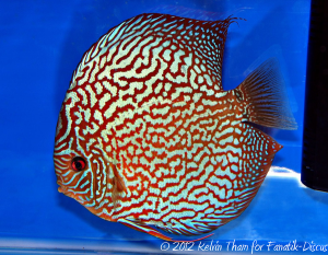 Discus turquoise 2nd Malaysian discus show 2012