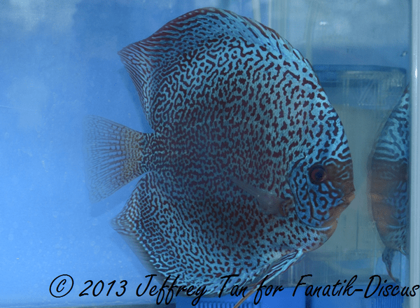Discus red spotted 1st Singapour 2012