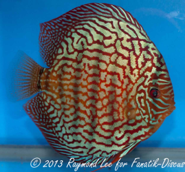 Discus turquoise 2nd Singapore 2012