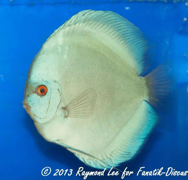 Aquarama 2013 Class 1 Discus Solid blue01_1