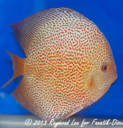 Aquarama 2013 Class 3 Discus red spotted snakeskin 03_1