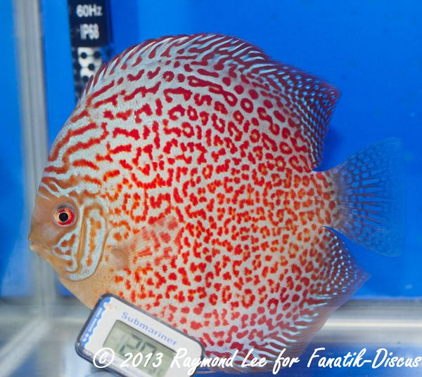 Aquarama 2013 Class 4 Discus red spotted 01_1
