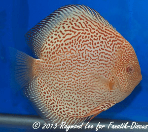 Aquarama 2013 Class 8 Discus albino pattern 03_1