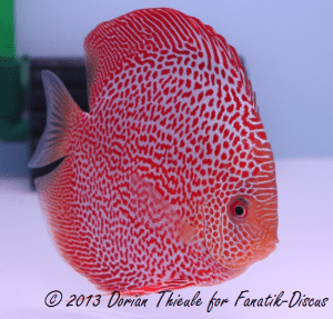 Photo Red spotted snakeskin France discus show Arvert 2011