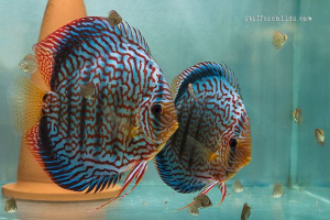 Couple de discus turquoise rouge Maze Ricky Lim