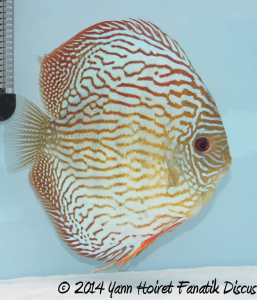 Discus Turquoise pattern striped 2nd Greek Discus Show 2014