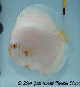 Discus solid blue 3rd Greek Discus Show 2014