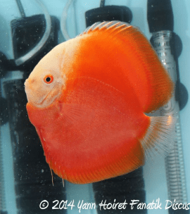 Discus white red solid red 3rd Greek Discus Show 2014