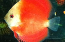 emelle discus Red Golden Diamond