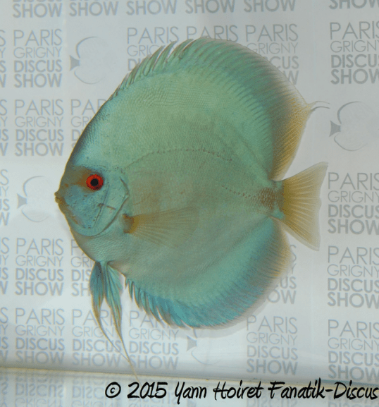 Solid blue Paris Grigny Discus show 2015 best in show
