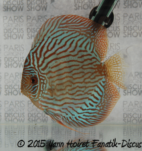turquoise 2nd Paris Grigny Discus show 2015