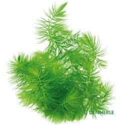 Ceratophyllum demersum de la société Dennerle