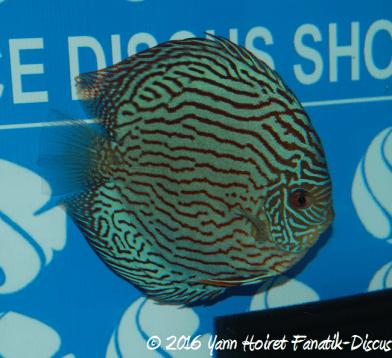 discus turquoise 2eme tran Quan FDS 2016