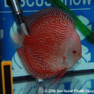 Discus white spotted snakeskin