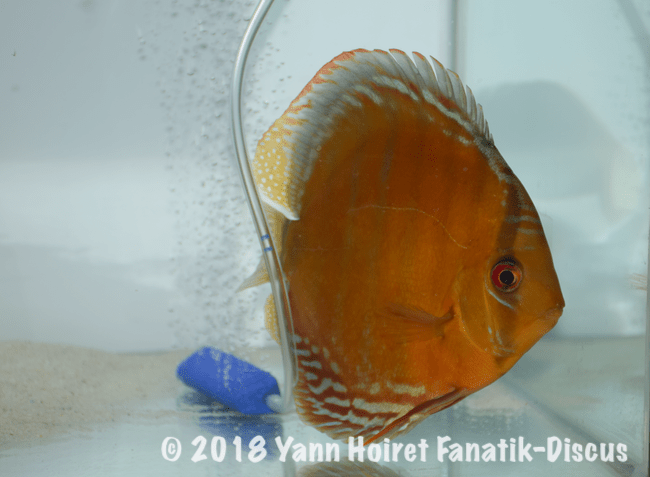 2nd Wild Brown Nordic Discus Show 2018 Stavros Tsipas Injaaz