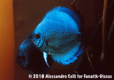 Jack Wattley Turquoise Hi Fin Discus spawning 1989 Alessandro Celli