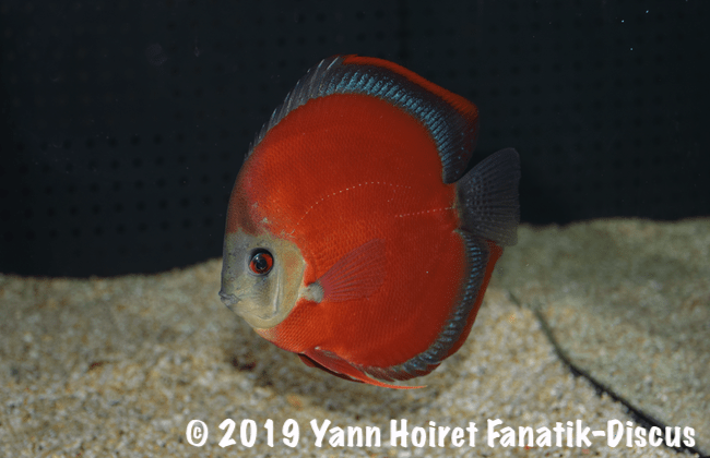 Red cover discus Vivarium 2018 De discusvrienden show