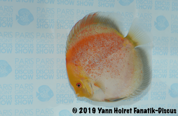 1st cat open meeting discus Paris discus show 2019 discus calico spotted