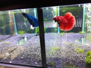 Betta-halfmoon-fan-mascotas