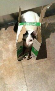 Las cajas vuelven locos a los gatos y son juguetes muy económicos.