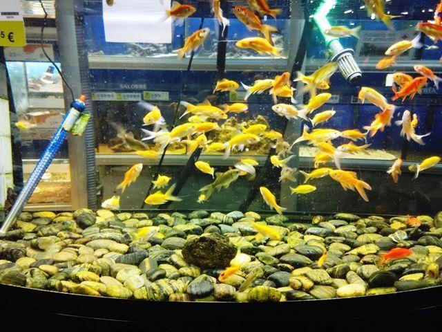Pecera redonda peces rojos agua fr a cuidados for Peceras con peces