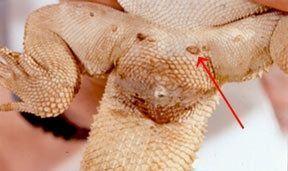 Poros femorales pogona