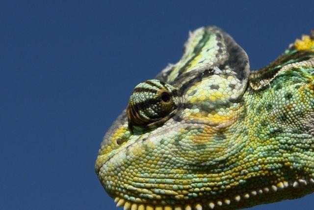 Cuidados del camaleón calyptratus