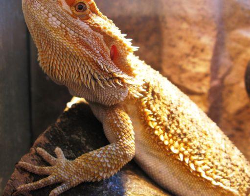 dragón barbudo pogona