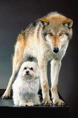 domesticación de mascotas, del lobo al perro.