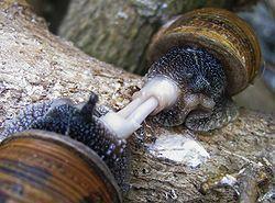 Apareamiento de caracoles. ¡Cada caracol es macho y hembra a la vez! Sobran las palabras.