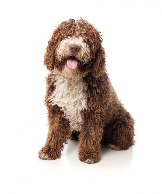 """En tu comercio especializado puedes encontrar incluso juguetes para perros que les encanta el agua, como este perro de aguas. Todo sea por evitar que se coman las cacas. Autor: <a href=""""http://www.freepik.es/fotos-vectores-gratis/perro"""">Perro de fotografía creado por Kues1 - Freepik.com</a>"""