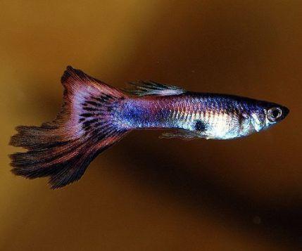 La aleta caudal o cola del pez guppy puede aparecer mordida si está con peces que no son compatibles.