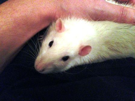 Rata como mascota, las claves para conseguirlo 1