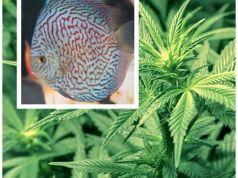 Regar marihuana con agua del acuario
