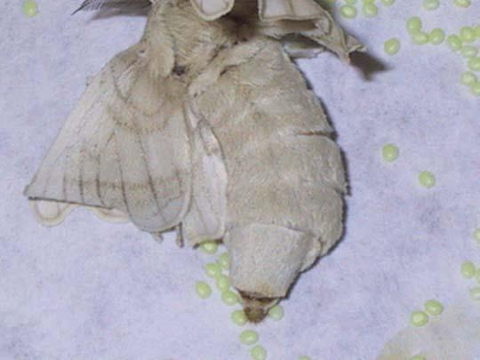 Gusanos de seda, ¿cómo cuidarlos? 3