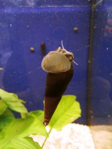 Caracol cuerno de diablo, comiendo algas pegadas al cristal. Estos caracoles en el acuario son invitados VIP, pueden costar entre tres y cuatro euros.