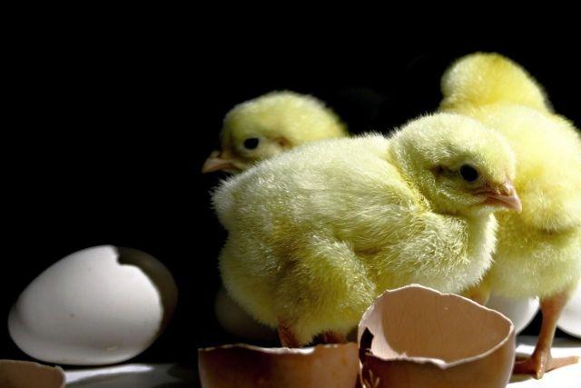 Pollitos de gallina.