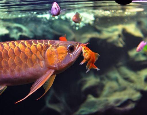peces de agua fría o caliente