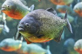 Mantener pirañas en el acuario