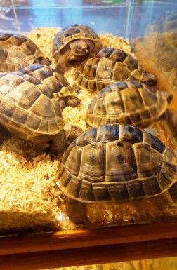 Explicar cómo tranportar una tortuga