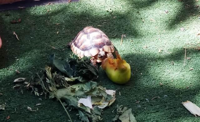 Explicar los alimentos para tortugas terrestres