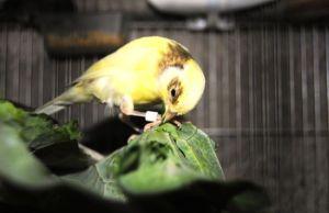 Explicar si es bueno que los canarios coman lechuga.