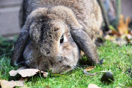 Enseñar si los conejos enanos crecen