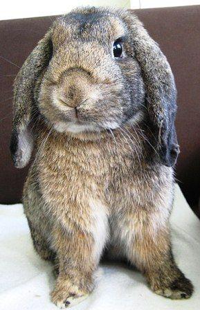 Conejo enano en casa libre