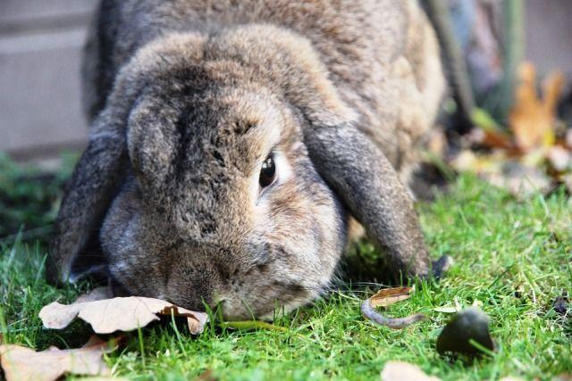 Cómo tener un conejo libre en casa