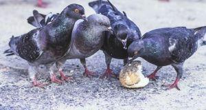 Explicar si es bueno dar pan a las palomas